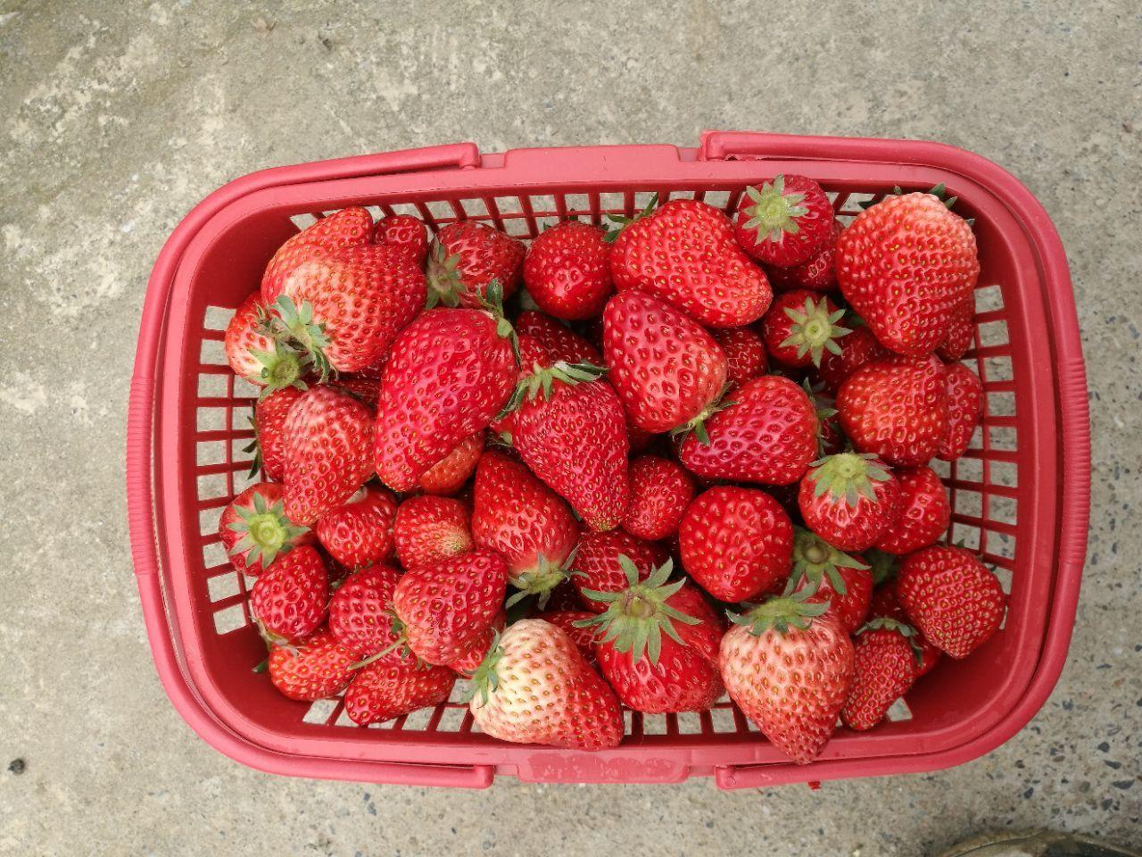 红姬草莓采摘基地