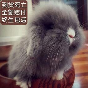 迷你宠物兔动物兔垂耳兔小白兔公主兔长毛兔活体道奇兔熊猫