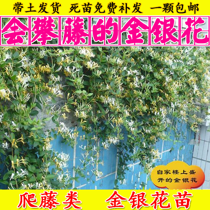 四季金银花苗木