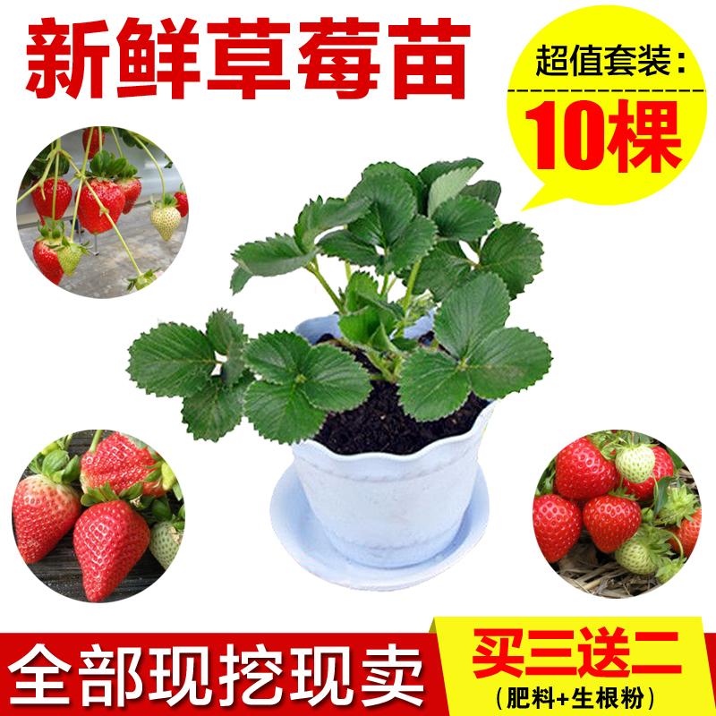陽臺花園庭院四季草莓苗庭院盆栽奶油草莓地栽盆栽可食用觀果植物