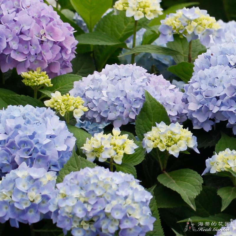 海蒂的花園 無盡夏大花繡球易爆盆庭院陽臺花卉盆栽苗植物花期長