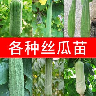 肉丝瓜种子苗超长特大四季白巨型棱角八棱蛇瓜春季蔬菜种籽秧苗孑