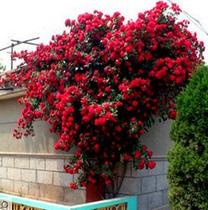 藤本月季花苗大花浓香庭院植物花卉盆栽玫瑰爬藤蔷薇四季开花不断