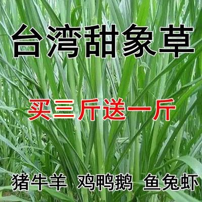 台湾狼尾草