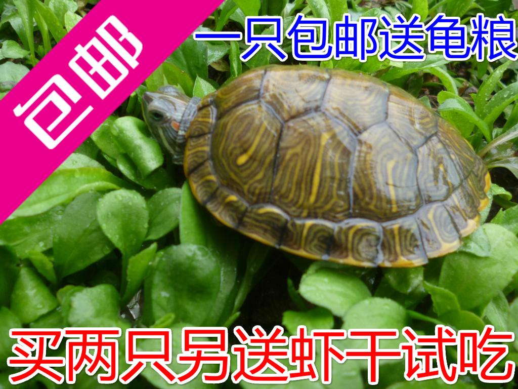 乌龟活体 宠物