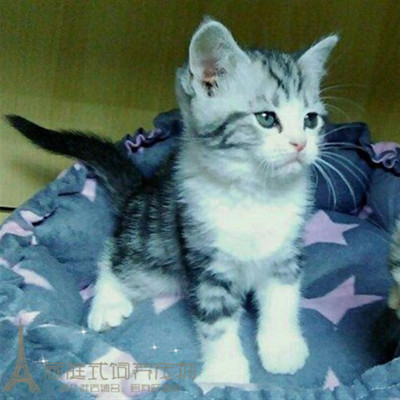 美国短毛猫标准银虎斑棕虎斑美短折立耳弟弟幼猫活体美短虎斑猫8