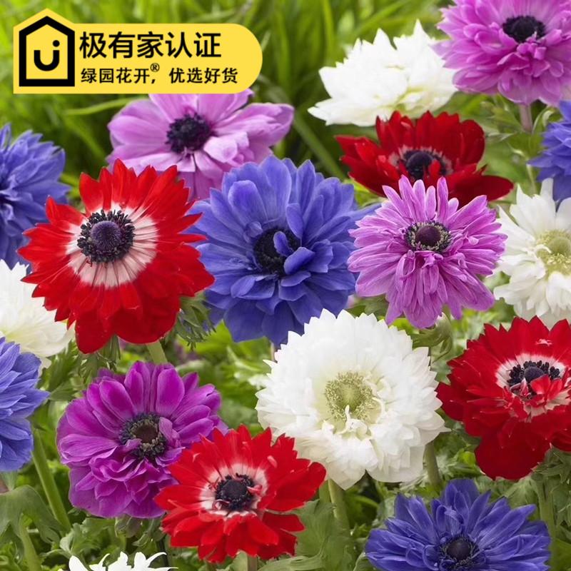 Цветочные луковицы Артикул 542048390583
