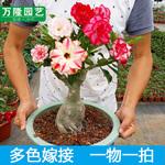 盆栽盆景沙漠玫瑰