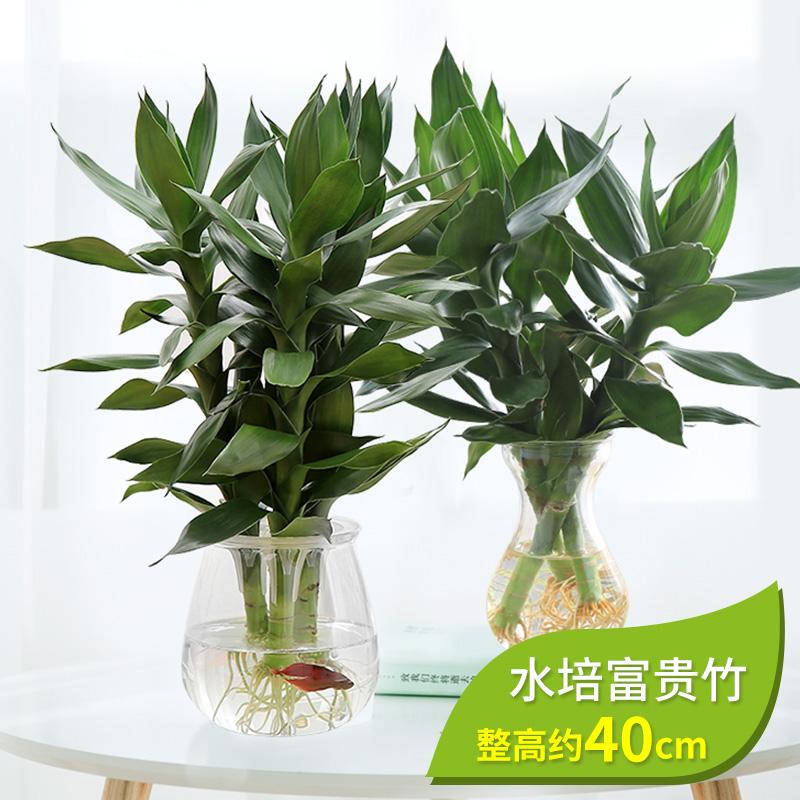 水竹子盆栽