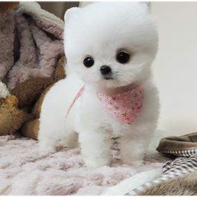 宠物狗狗纯种博美幼犬哈多利球体博美俊介犬白色茶杯小体博美狗*