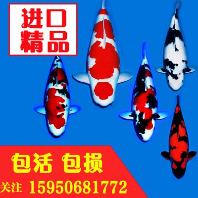 渔场直销日本纯种锦鲤活体白金黄金龙凤鱼苗红白大正昭和金鱼白写