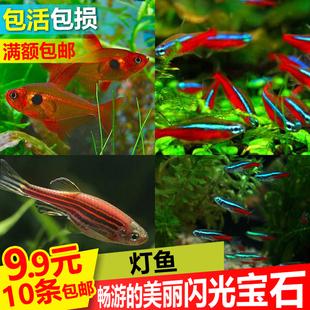 灯科鱼活体红绿灯活体集锦斑马鱼小型热带淡水鱼观赏鱼活体 包邮
