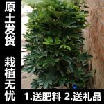 客廳大型綠植 鴨腳木盆栽 八方來財 萬年青花卉 散尾葵天堂鳥