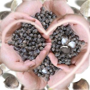 纯辣木籽天然野生食用散装云南正品印度进口的功效特级 买6发500g