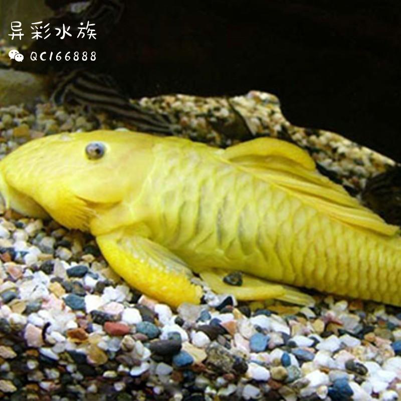 黄金达摩异形鱼