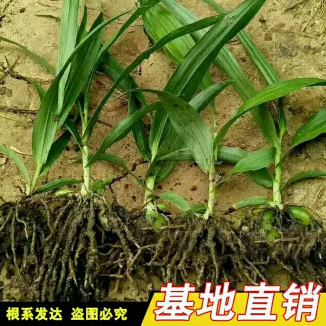白芨苗子湖北云南贵州四川白芨种苗白及种子紫花三叉鲜活药材包邮