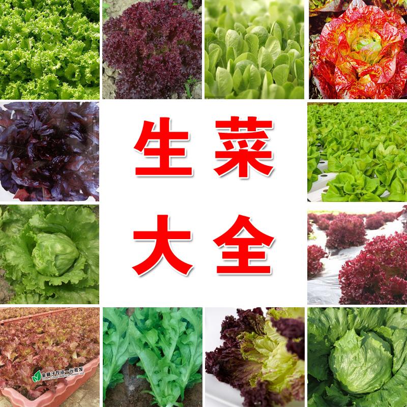 阳台蔬菜种子奶油生菜意大利生菜 玻璃生菜 紫叶沙拉生菜种子大全