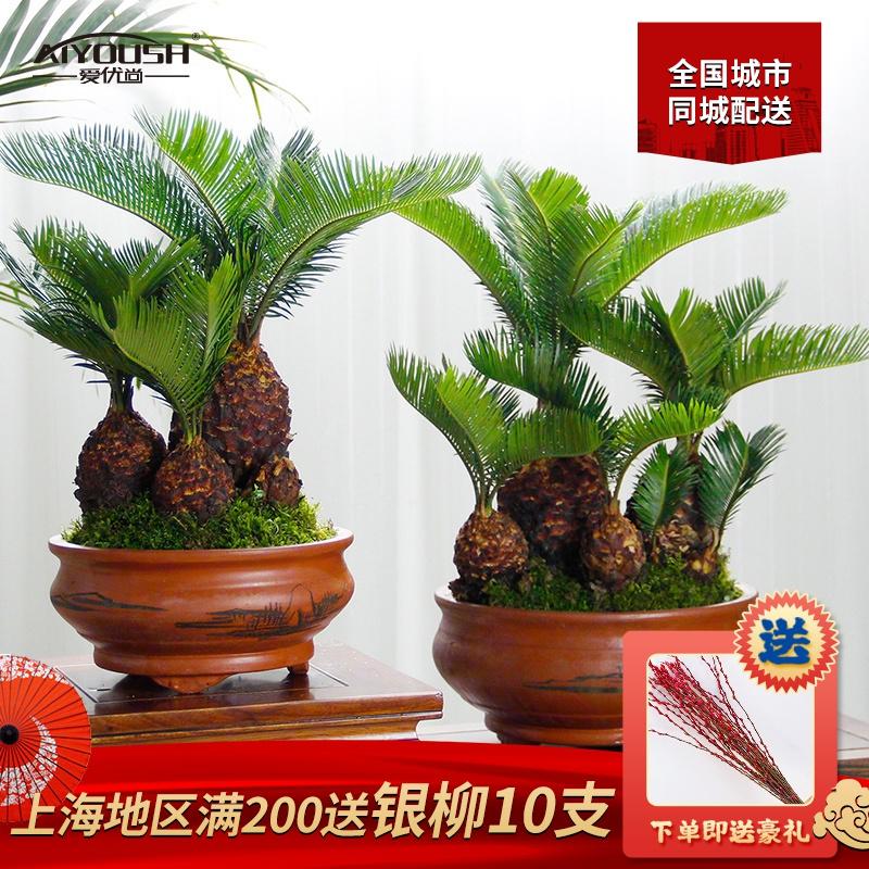 铁树盆栽多头艺术名贵盆景送礼品长辈领导室内绿植高档大小型老桩