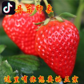 丹东99草莓新鲜3斤 大草莓红颜奶油牛奶孕妇九九草莓 现摘包邮