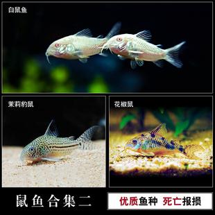 热带鱼观赏鱼白鼠鱼茉莉豹鼠花椒鼠鱼清道夫活体水族宠物小工具鱼
