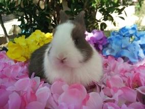 小体型 长毛黑白道奇猫猫兔 安哥拉兔宠物兔小白兔黑兔