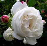 幽兰香榭 保加利亚白玫瑰精华油10ml (3%于USDA认证MRH荷荷巴)