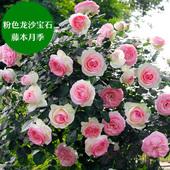 欧月爬藤大苗藤本月季粉色龙沙宝石四季开花庭院阳台盆栽绿植花卉