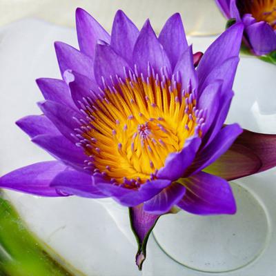 睡莲紫色5支云南鲜花批发同城速递全国满包邮订阅包月花束