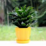 太阳神盆栽四季常青绿色花卉办公室内净化空气万年青植物小盆栽