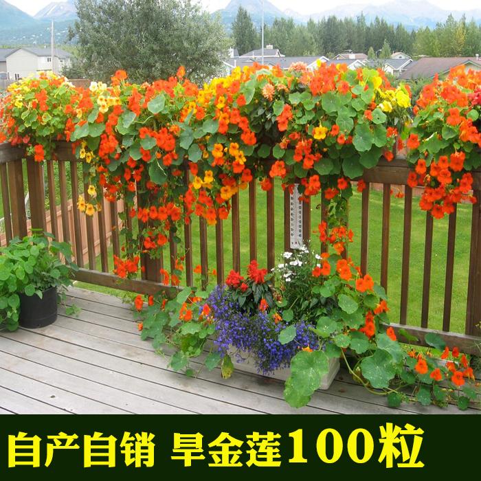 旱金莲种子 盘旋鸟 多年生花种子 旱金莲花种子 盆栽花种子A
