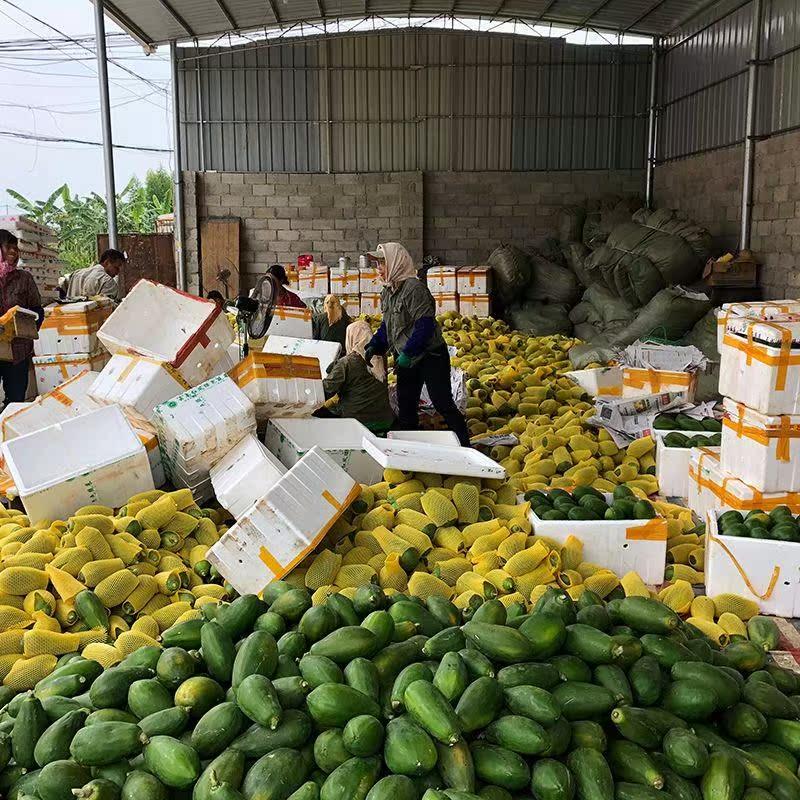 海南红心木瓜牛奶果丰胸青木瓜新鲜甜瓜当季时令水果5斤
