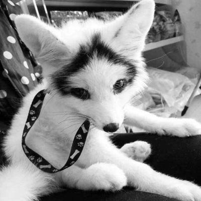 青丘灵狐熊猫狐纯种宠物狐狸活体雪狐幼崽蓝眼北极狐白化赤狐火狐