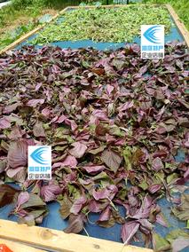 湖南益阳桃江特产晒紫苏青菜农家自种无添加赤苏黑苏青苏晒制干菜