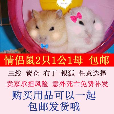 仓鼠活体一对宠物三线紫仓布丁银狐一公一母迷你可爱情侣宝宝包邮