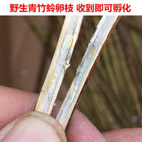 Wild green bamboo eggs, hatching, bamboo, live, purple bamboo, eggs, bamboo seeds