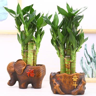 富贵竹水培植物招财树发财树盆栽土培步步高竹子室内办公室吸甲醛