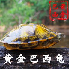 Longevity pet small pet turtle live Chinese tortoise