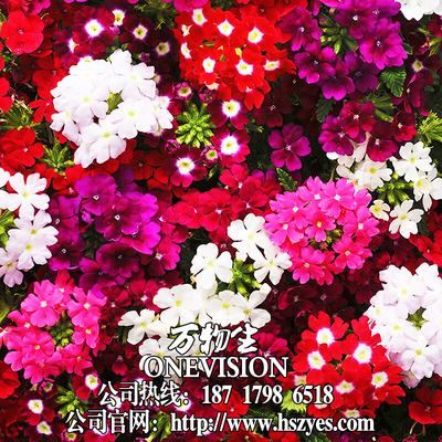 美女樱种子混色四季绣球五色梅美人樱景观花海庭院室内阳台花种子旗舰店网址