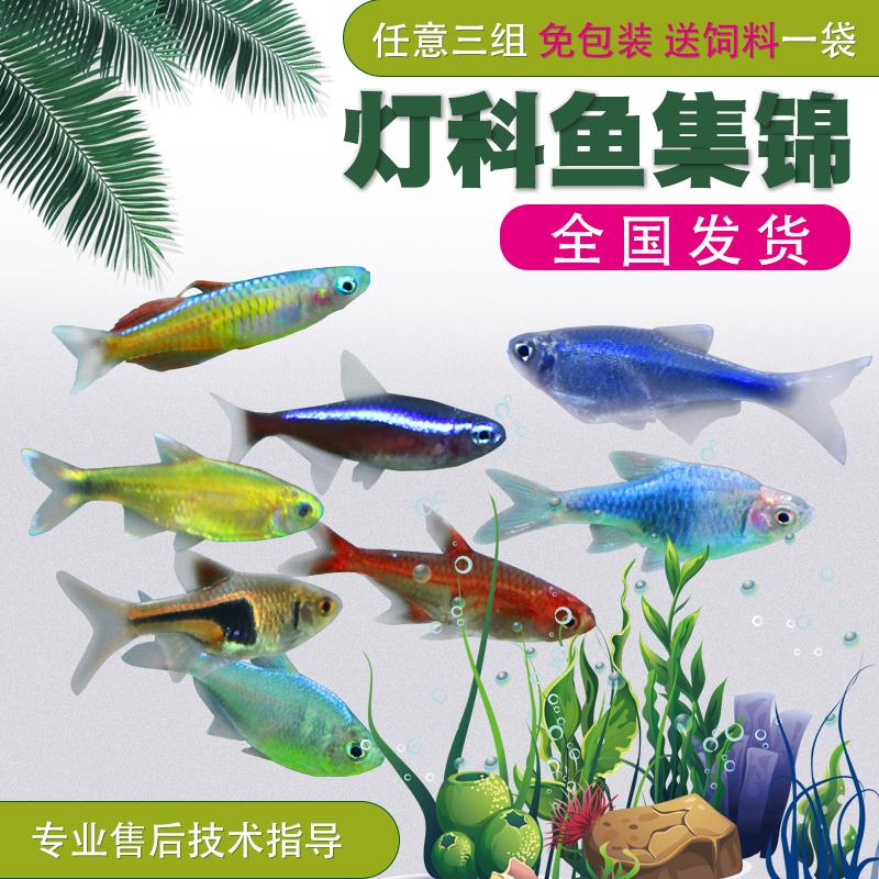 活体热带鱼小型淡水鱼苗观赏鱼宝莲灯斑马孔雀鱼红绿灯灯鱼灯科鱼