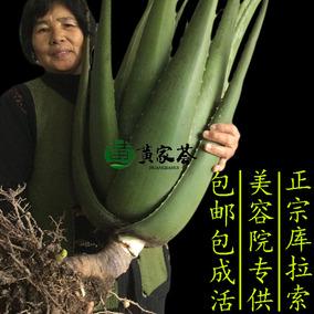 库拉索美容鲜芦荟盆栽植物室内绿植食用药用纳豆奶芦荟灌肤苗叶片