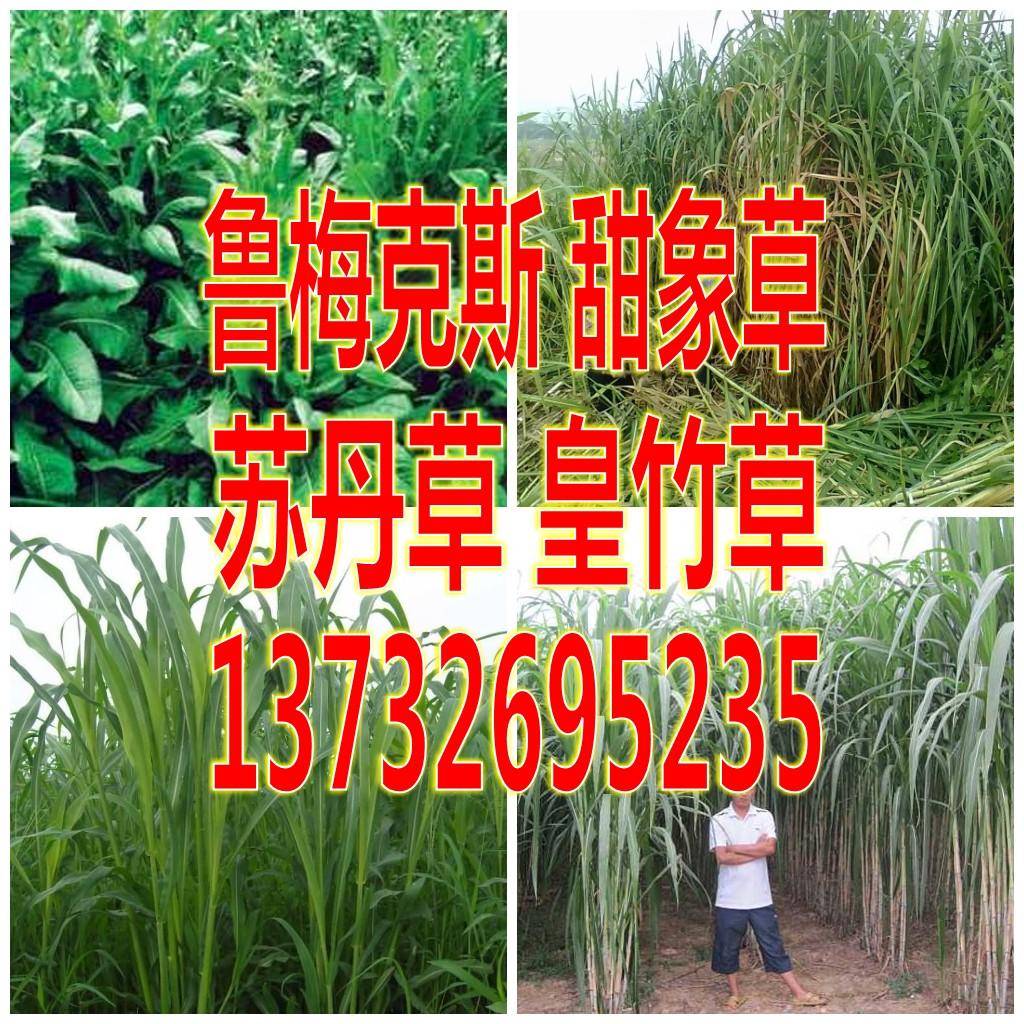 苏丹草种子 牧草多生台湾甜象草鲁梅克斯四新型皇竹草种子