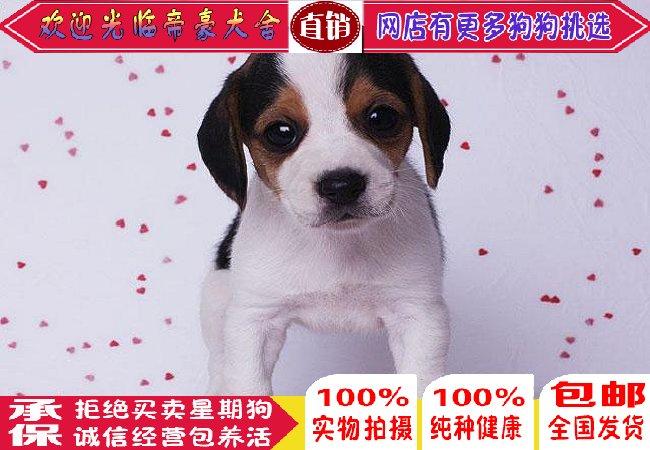 北京出售纯种比格犬活体中型宠物狗狗米格鲁狗比格幼犬比格猎兔犬