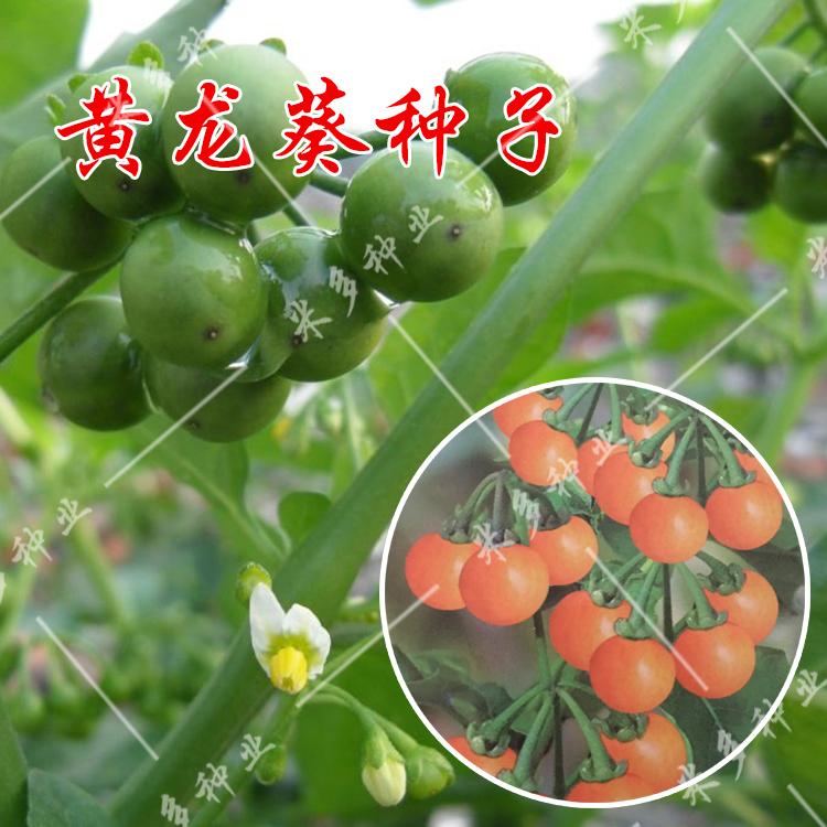 蔬菜种子 野生黑悠悠种子  野生龙葵种子 小燕悠 种子 阳台盆栽