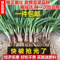Purple leek root leek seedling leek seed seed balcony Four Seasons vegetable leek leaf now dig wide leaf leek root