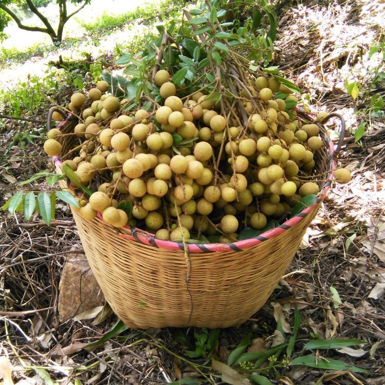 桂圆 新鲜石硖龙眼6斤礼盒装孕妇水果现摘碣干高州储良空运超甜