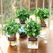 食用薄荷盆栽驱蚊草猫薄荷种子香薄荷草办公桌盆栽花卉绿植小盆栽