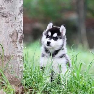 株洲市出售纯种哈士奇幼犬三把火蓝眼哈士奇活宠活体宠物狗狗包活
