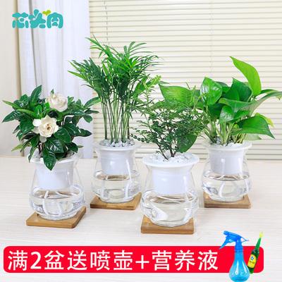 绿萝栀子花水培植物室内花卉办公室盆栽鸭脚木碧玉清香木水养植物