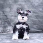 雪纳瑞犬幼犬活体纯种小雪纳瑞狗狗宠物犬灰色小型犬老头狗北京图片
