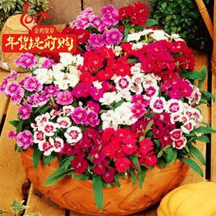 五彩石竹公园庭院阳台种植盆栽混色多年生花卉種籽草本观花植物